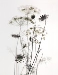 Queen Anne's Lace with Onion Flower