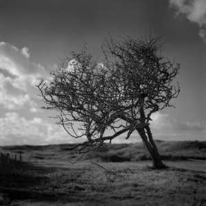 Tree in the dunes 2