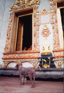 thai temple dog